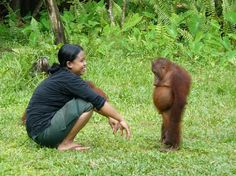 Guilty orangutan sheepishly takes responsibility for its actions...