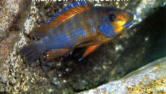 Petrochromis macrognathus 'Ulwile' Malawi Cichlids, African Cichlids, Tropical Aquarium, Tropical Fish, Cichlid Fish, Lake Tanganyika, Freshwater Aquarium Fish, Planted Aquarium, Africans