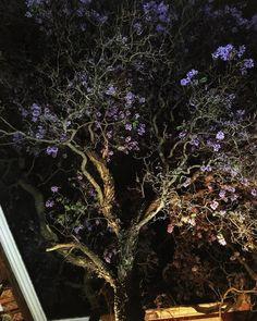 Jacaranda nocturna San Miguel Allende 15/04/17 #SanMigueldeAllende #SMA #Guanajuato #México