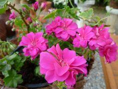 Os gerânios são flores lindas que de certeza você vai querer plantar em casa :) #plantas #geranios #plantar #jardim