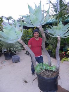 Agave attenuata old plant Agave Attenuata, Strange Flowers, Fast Growing Trees, Agave Plant, Agaves, Cacti And Succulents, Palms, Beautiful Gardens, Flower Pots