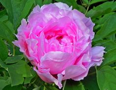 Tree peony 'Princess Chiffon' in its second year. In its third year it gave me nine flowers.