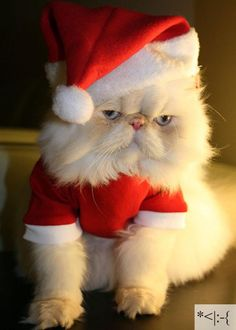 Santa Paws: Wishing you a very Meowy Christmas I Love Cats, Crazy Cats, Cute Cats, Funny Cats, Funny Animals, Cute Animals, Christmas Animals, Christmas Cats, Christmas Humor