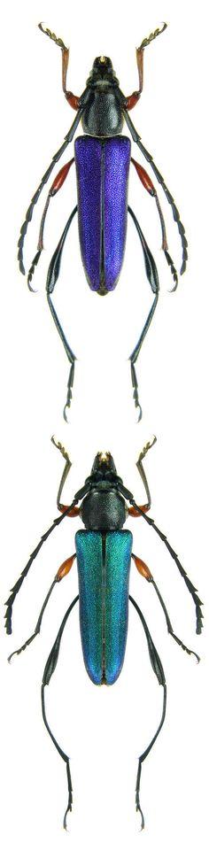 Hypargyra cribripennis