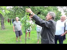 Ivan Hričovský: Letný rez slivky - Čačanská lepotica Fruit Trees, Gardening, Youtube, Outdoor, Ideas, Professor, Outdoors, Lawn And Garden, Outdoor Games