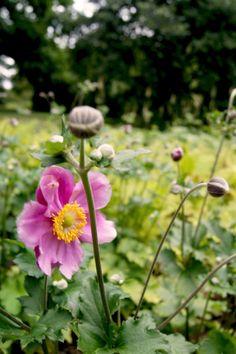 Anemone 'Rosenschale' (Herbst-Anemone)