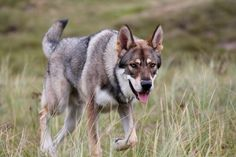 Raven - Saarloos Wolfdog Czechoslovakian Wolfdog, Saarloos, I Don T Love, Raven, Dog Breeds, Your Dog, Husky, Fox, Wolves