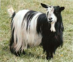 Mini Silky Goats | Miniature Silky Fainting Goats