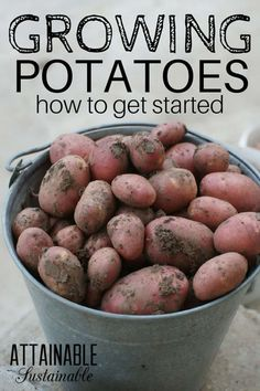 Growing potatoes in your home garden provides you with a flavorful addition to your harvest, as well as more calories than many crops. Learn the basics of how to grow potatoes, how to harvest potatoes, and how to store potatoes from your garden. Or even a small container garden! #growingfood #homestead #garden via @Attainable Sustainable