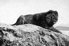 Extitnto en 1942. León de Atlas. Panthera leo leo.