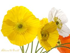 10 zitronengelbe Blumenbilder Nature, Flowers, Plants, Yellow Roses, Lemon Yellow, Roses Garden, Hanging Wallpaper, Photo Wallpaper, Wall Canvas