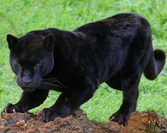Fotografías de Panteras Negras - Felinos - Black Panthers Just beautiful!