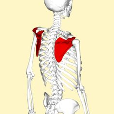Scapula_-_lateral_view2 Upper Arm Bone, Continuing Medical Education, Arm Bones, Medical Pictures, Scapula