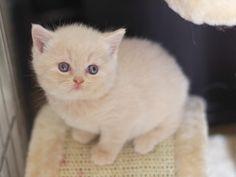 sweet cream honey-pie (one of cutest cream british kittens ever) <3