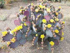 PURPLE PRICKLY PEAR Pads 3 / Cold Hardy / Opuntia santa-rita / Santa Rita Prickly Pear Cactus Cuttings Live Cactus Large Cactus Plant Cacti by LookingSharpCactus on Etsy https://www.etsy.com/au/listing/252589864/purple-prickly-pear-pads-3-cold-hardy