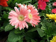 Pink Gerbera, Gerber Daisies, Plant Images, Flower Pictures, Daisy, Nature, Flowers, Plants, Color