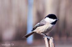 Carolina Chickadee (Poecile carolinensis)  Fun Fact: A group of chickadees can be called a banditry of chickadees. This collective noun probably refers to the mask-like appearance of chickadee species.  Enterprise, Alabama, USA