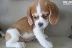 Meet barnaby a cute Beaglier puppy for sale for $600. red & white Beaglier Puppy