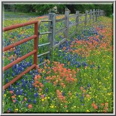 List of Texas Wildflowers | Roadside with wildflowers on Christmas Road east from Gay Hill. Texas ...