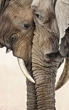 Elephant love / the eyes are the windows of the soul / elephant pictures animal / nature photography. I believe Elephants are one of the most soulful creatures on this earth. Nature Animals, Animals And Pets, Baby Animals, Cute Animals, Wild Animals, Baby Hippo, Baby Elephants, Baby Cows, Funny Animals