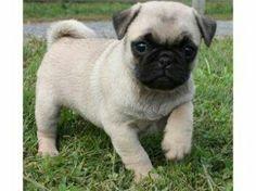 Baby pug....sooo cute...