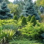 Designing With Conifers: Sizing Up Some Evergreen Choices