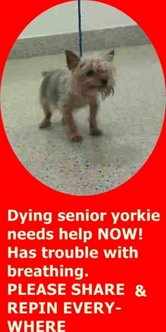ASHLEY (A1799824) I am a female gold and black Yorkshire Terrier. The shelter staff think I am about 10 years old. I was found as a stray and I may be available for adoption on 07/17/2016. — Miami Dade County Animal Services. https://www.facebook.com/urgentdogsofmiami/photos/a.474760019225073.115405.191859757515102/1237811419586592/?type=3&theater