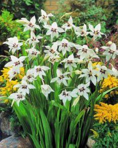 Acidanthera murielae More Summer Flowering Bulbs Bulbs | Acidanthera Bulbs | Buy More Summer Flowering Bulbs Flower Bulbs Online | Bloms Bulbs UK An Award Winning Supplier