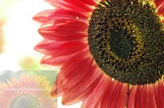 Hey, I found this really awesome Etsy listing at https://www.etsy.com/listing/159782612/sunflower-photograph-that-can-be