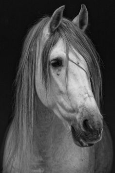 Pura Raza Espanola - the most beautiful horse breed ever! Most Beautiful Horses, All The Pretty Horses, Cute Horses, Horse Love, Grey Horses, Horse Photos, Horse Pictures, Beautiful Creatures, Animals Beautiful