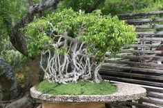 This bonsai looks just like the banyan tree at the Edison & Ford Winter Estates...only much much smaller!