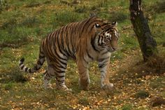 https://flic.kr/p/hosvmQ | Panthera tigris altaica - Amur Tiger | Captive bred adult at Highland Wildlife Park, Kingcraig, Inverness-shire, Scotland 31.10.2013