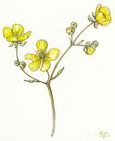 """""""Buttercups"""" watercolor and colored pencils botanical illustration by Nadia Corfini Mom Tattoos, Future Tattoos, Botanical Illustration, Watercolor Illustration, Buttercup Tattoo, October Flowers, Plate Drawing, Line Flower, Flower Plates"""