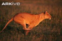 African lioness running © Anup Shah / naturepl.com