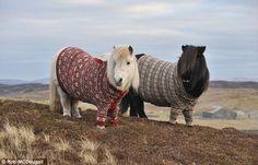 shetland ponies in fair isle jumpers...