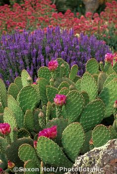 Hardy Succulents. Beavertail cactus, Opuntia aurea 'Coombe's Winterglow' flowering with Veronica and Centranthus in Denver garden.