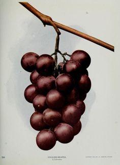 nemfrog:英語ブドウ。 自然の隣人。 1914。