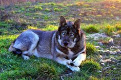 Волкособ (фото): Удивительная квинтэссенция волка и собаки