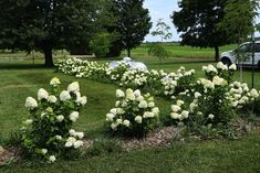 limelight panicle hydrangea 3.5 feet apart for hedge
