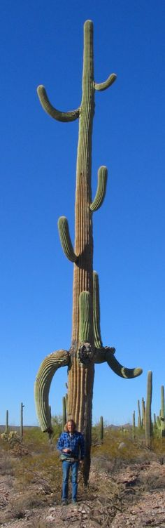 Really tall saguaro in Organ Pipe Cactus National Monument, Arizona. http://cactuslovers.com/really-tall-saguaro.htm