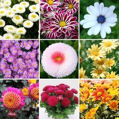 Mehrjährige 400 mix farbe Gänseblümchen Blumensamen Blüten Balkon schnell wachsenden garten dekoration