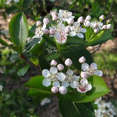 Aronia melanocarpa 'Iroquois Beauty' Chokeberry, $17.95 - compact growth and smaller size, growing only to three-feet tall. It has three-season interest that begins in the spring with loads of white flowers followed by clusters of dark-blue fruit that last all winter. In the fall, the glossy-green foliage turns a wine-red color. This shrub is very adaptable and grows in wet or dry conditions, and in full sun or shade. It's great for mass planting and hedges.