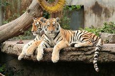 Tiger 17   christinebovig   Flickr