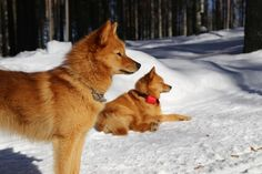 Two Finnish spitz | by VisitLakeland