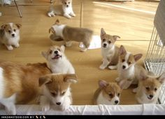 Corgi puppies, so adorable, if I ever got a dog this is probably the breed that I would get. : )