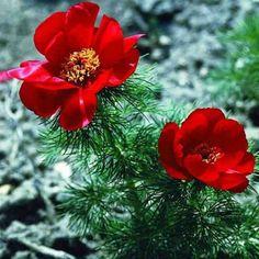 Pivoine botanique - Paeonia tenuifolia Paeonia Tenuifolia, Sang, Plants, Avril Mai, Plantation, Garden Ideas, Gardens, Flowers, Perennial Plant