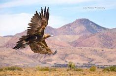 Taking Flight: A Wedge Tail Eagle soars over the South Australian outback in this image...