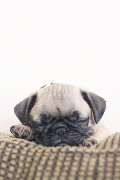 #Pug #Wallpaper #Realist