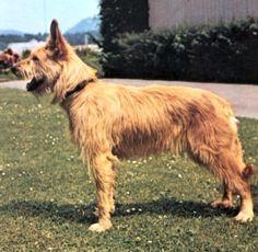 berger picard dog photo | 別名:ベルジェ ド ピカルディー、ピカーディ ...