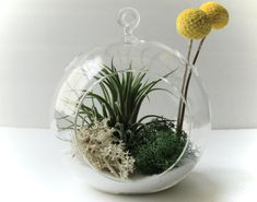 What a unique open globed terrarium for the house.  You can hang it from the ceiling or use it as a table piece & it's low maintenance, what's not to love?